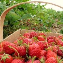 هفتمین جشنواره توتفرنگی در روستای صوفیانده شهرستان صومعه سرا برگزار میشود.22 هکتار باغ توت فرنگی و تولید سالانه 60 تن،30 درصد توت فرنگی گیلان را تولید کرد