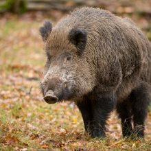 دستورالعمل صدور مجوز شکار خوک ( گراز وحشی) برای اتباع خارجی در سال 96 با رعایت کلیه قوانین و مقررات مربوطه بلامانع اعلام شد.