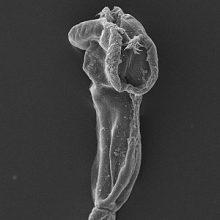 یک گونه جدید از شاخه کرم های پهن و یک جنس جدید سستود از راستهTrypanorhynchaمتعلق به ردهCestodaکه در آبهای خلیج فارس در روده گونه ای کوسه ماهی