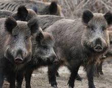 شکارچیان گرازهای وحشی از روستای گالیشخیل رشت دستگیر شدند.4 نفر متخلف که به شکار گراز اقدام میکردند،توسط مامورین یگان حفاظت محیط زیست ...