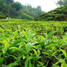 رییس سازمان چای کشور با اشاره به احیای ۴ هزار باغات غیرفعال چای گفت: در حال حاضر ۲۱ هزار و ۵۰۰ هکتار باغ فعال چای در کشور وجود دارد که در حدود ۴ هزار هکتار