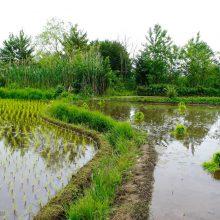 مدیرعامل آب منطقه ای گیلان گفت: سال 97، سال کم آبی برای کشت برنج است.کاظم لطفی اظهار داشت:مساحت آببندانها در استان8هزار و 500 هکتار است و به طور متوسط سالیانه