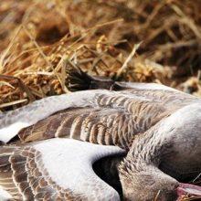 از خریداری پرندگان شکار شده در بازارهای شمال کشور و مصرف گوشت آنها و حتی خرید آنها برای نگهداری باید به شدت خودداری کرد، گفت: ویروس آنفلوآنزا با پخته شدن از بین میرود.