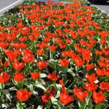 شکوفا شدن اولین گل های لاله کاشته شده در میادین و معابر سطح شهر رشت به روایت تصویر