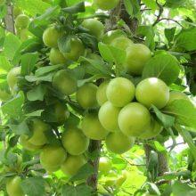 کارشناس ارشد گیاهان دارویی با اشاره به خواص بسیار گوجه سبز توصیه کرد: افراد مصرف این میوه خوراکی را در سبد غذایی خود داشته باشند.