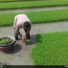 نخستین نشا برنج در فومن و نخستین نشا مکانیزه برنج در صومعه سرا انجام شد.