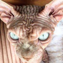 جِردان نام گربه از نژاد اسفینکس کانادایی است که به دلیل شکل منحصر بفرد خود در شبکههای اجتماعی مورد توجه قرار گرفته است. گربه شیطانی