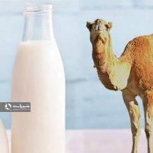مصرف کنندگان شیر شتر مراقب تب مالت باشند